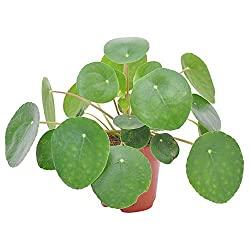 Pilea Peperomioides : Top 10 des plantes d'intérieur
